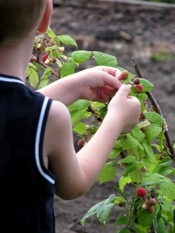 1381644_kid_picking_raspberries_from_the_bush.jpg