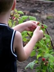 1381644_kid_picking_raspberries_from_the_bush.jpg
